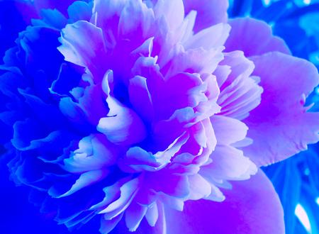 Blooming blue Peony. Beautiful blue Peonie flower. Peony in two tones. Фото со стока