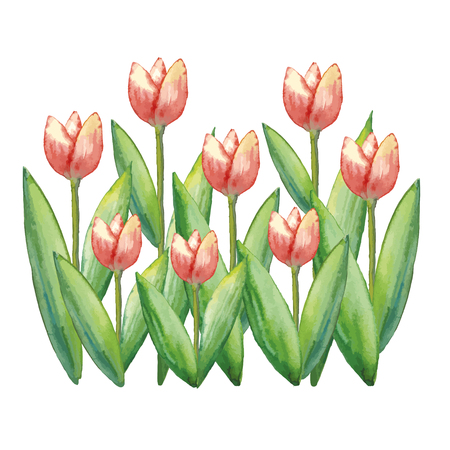 Watercolor tulips, hand drawn illustration of spring flowers, floral illustration isolated on white background.