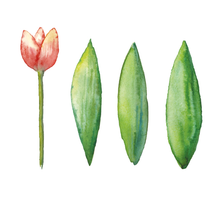 Watercolor tulip, hand drawn illustration of spring flower, floral illustration isolated on white background.