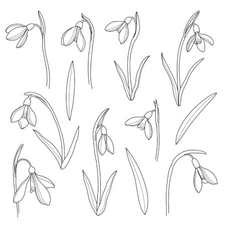 Vector snowdrops set. Hand drawn snowdrops flowers in line style on white background. Spring flowers