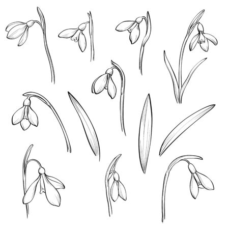 Vector snowdrops set. Hand drawn snowdrops flowers on white background. Spring flowers