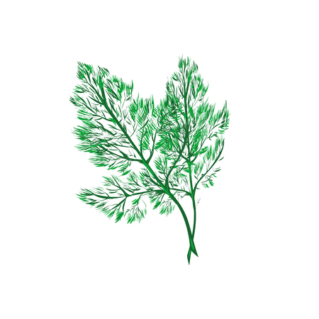 Fresh fennel leaf on white. Vector stock art hand drawn Illustration