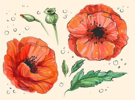 Red poppy Papaver rheas Hand drawn vector illustration of a red poppy in full bloom and a bud in a botanically detailed, true manner 矢量图像