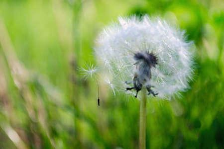 Dandelion fuzz in green grass