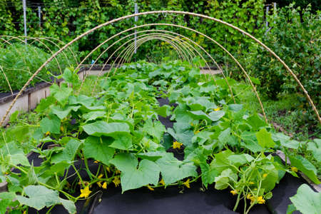 Protection against weeds when growing cucumbers with spunbond agriculture nonwoven cover