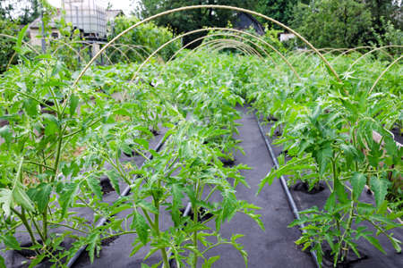 Seedling tomato, grown in a large box on a Spunbond Nonwoven cover. Mulching. Grow boxes Stock Photo