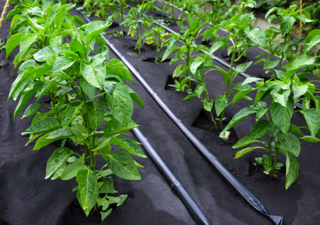 Bushes of sweet pepper, grown in a box for seedlings on a protective Polypropylene spunbond agriculture nonwoven. Use of micro-pouring 免版税图像