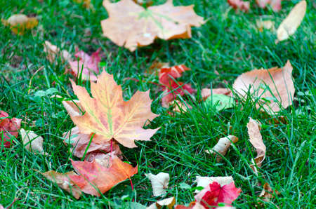 field maple: Yellow maple leaves on green grass in the park. Autumn mood. Stock Photo