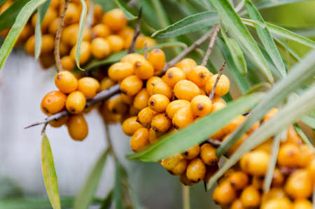 argousier: Ripe yellow sea buckthorn berries on a branch. Photo with shallow depth of focus. Banque d'images