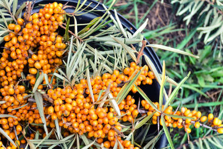 argousier: Cut branches with ripe yellow sea buckthorn berries in a bucket. Banque d'images