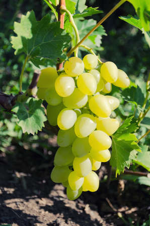 Bunch of large grapes of white varieties on the vine. Grade White Delight.  Wine Grapes.