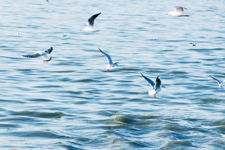 Seabirds of seagulls fly a large flock low over waves of water in the sea. Toned in style of  light vintage hipster. Stock Photo