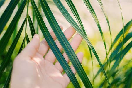 Woman hand  touches and enjoy green palm leaf lit by the sun. Concept tenderness, interaction, unity with nature.