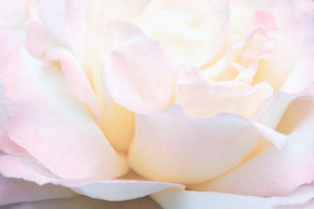 Blurred image -  pink rose flower, floral background, natural pattern, gentle petals close up. English roses grade Excalibur, Gloria Day, Rosemary Harkness.