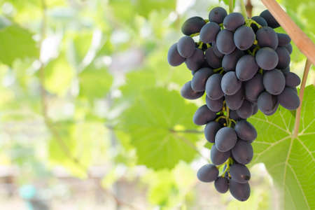 Bunch of ripe red grapes hanging from the vine, warm tone background with empty place for text. Copy space.