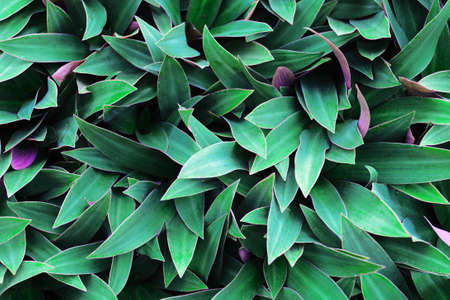 Green leaves background. Use for wallpaper, backdrop or design element in natural concept. Flowering plant with green magenta purple leaves, that is called Moses in the Cradle, tradescantia spathacea.