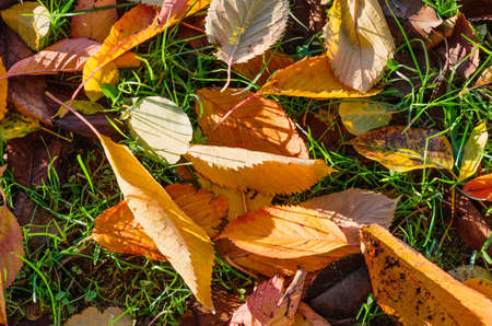 Bright fallen leaves in green grass. Autumn is coming. Top view.