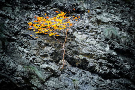 Tree with orange leaves grows on a stone slope of a cliff. The concept of overcoming difficulties and survival under difficult conditions.