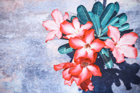 Bright flowers Tropical Desert rose blossom on a background of an old concrete wall.