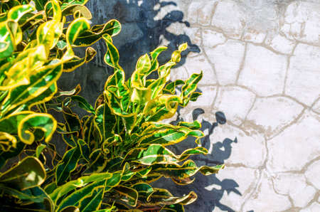 Bright leaves of a croton bush on a concrete wall background. Empty place for text, copy space. Photo with selective focus