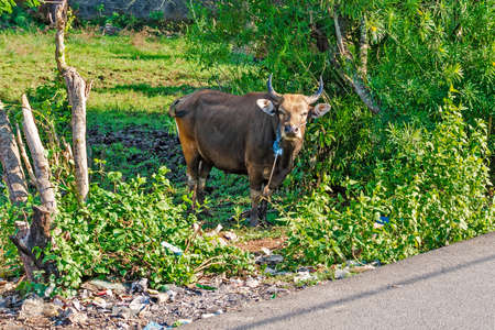 A brown Asian cow grazes in a green thicket by the road. Bali, Indonesia Reklamní fotografie