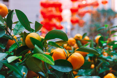 Tangerine bushes on a street in China. Traditional sterrt decor. Photo with soft selective focus 免版税图像