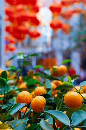 Bushes with ripe mandarin on Hong Kong street. City street green decor.  Photo with soft selective focus