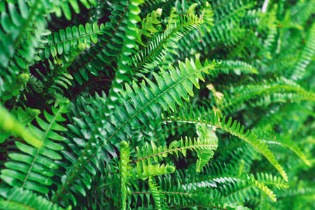 Green fern close up. Natural tropical botanical background. Photo with selective soft focus.