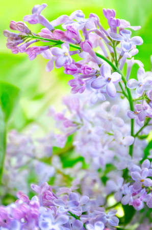 Springtime bunch of lilac blossom in sunny garden. Blooming flowers on branch close-up. Empty place for text, copy space. Photo with soft focus. 免版税图像