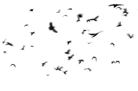 Silhouette of black birds crows flies on a white background. Photo with motion blur.  Isolated on white