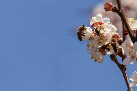 Bees pollinate apricot tree in early March Bee on flower buds in early winter.