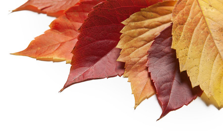 Yellow and red autumn leaves on white background.