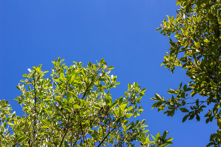 Tree photographed below. Foliage and tree branches against the blue sky. Tropical concept.