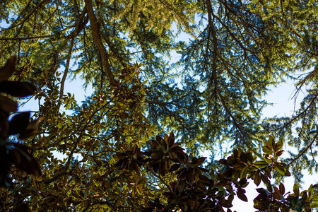Trees photographed from below. Foliage and tree branches against the blue sky. Tropical concept.