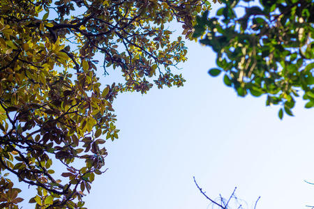 Foliage and tree branches against the blue sky. Trees photographed from below. Background in blur.