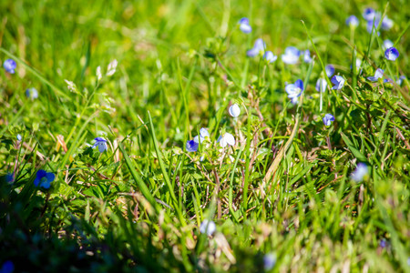 Grass summer afternoon, close-up. Bright green grass and small blue flowers. Natural texture.