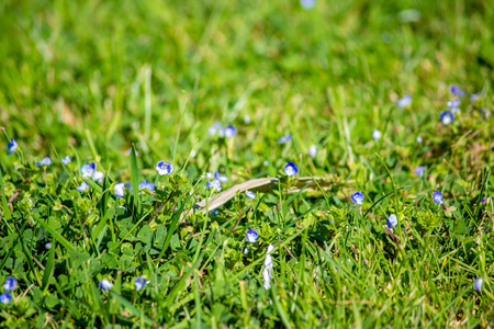 Bright green grass and small blue flowers. Grass summer afternoon, close-up. Natural texture.
