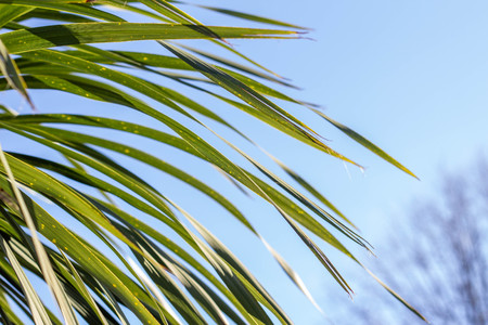 Palm leaves against the blue sky. Tropical texture. Summer sunny day.