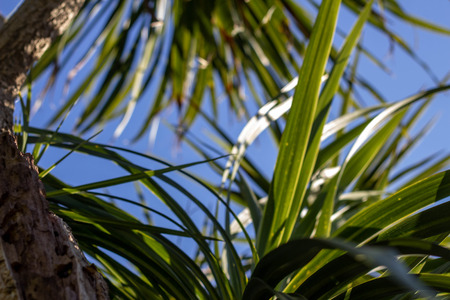 The leaves of palm trees against the sky. A tropical texture. The sun breaks through the leaves. Summer sunny day, colored highlights.