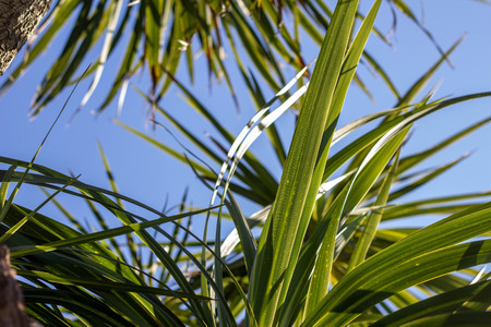 The sun breaks through the leaves. The leaves of palm trees against the sky. A tropical texture. Banco de Imagens