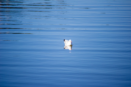 A seagull swims in the blue water. The bird swims in the lake. Natural concept. Banco de Imagens