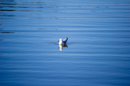 The bird swims in the lake. A seagull swims in the blue water. Natural concept. Banco de Imagens
