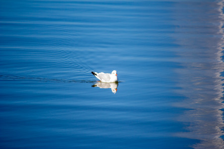 The bird swims in the lake on a summer day. A seagull swims in the blue water. Natural concept. Banco de Imagens
