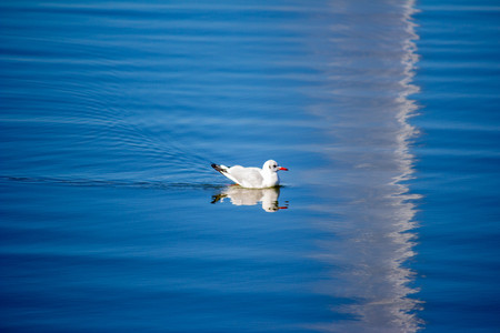 A seagull swims in the blue water. The bird swims in the lake on a summer day. Natural concept. Banco de Imagens