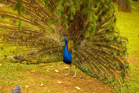 Peacock opened tail. Peacock walks through the meadow.