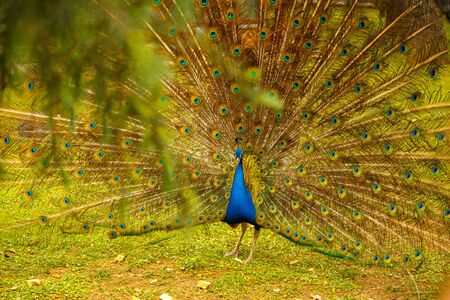 Peacock opened tail. Peacock walks through the meadow. Foliage in the foreground.