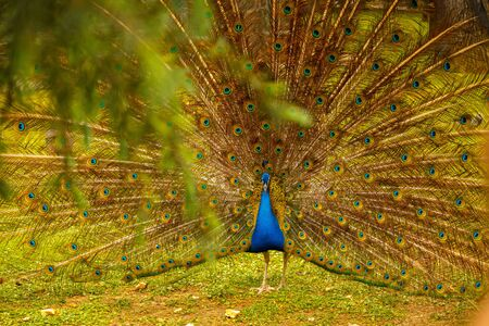 Peacock walks through the meadow. Peacock opened tail. Foliage in the foreground. Фото со стока