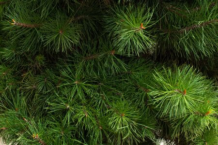Texture of fir branches. Natural texture. Natural concept.