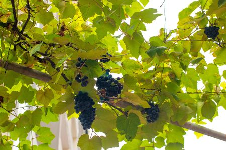 Bunches of dark grapes on the branches.