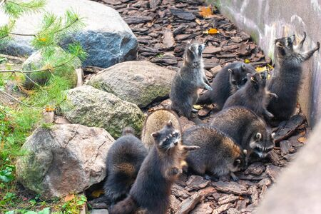 Many raccoons are sitting against a concrete wall and looking up.A lot of raccoons. Stock Photo